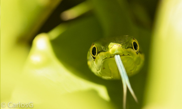 Culebra verde de la Hispaniola / Hispaniola Green tree snake (Uromacer oxyrhynchus)