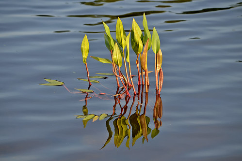 Reflections. Aquatic plants. Finland, summer. | by L.Lahtinen (nature photography)