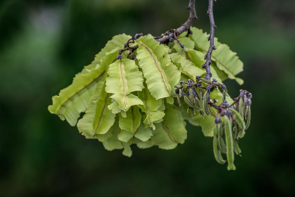 Florida fishpoison tree / Piscidia piscipula