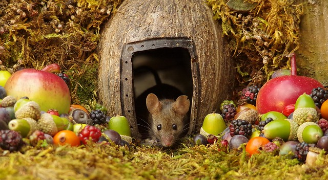 wild house mouse in log pile  with fruits and berry's (6)