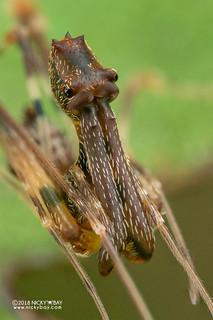 Assassin spider / Pelican spider (Eriauchenius sp.) - DSC_8710b   by nickybay