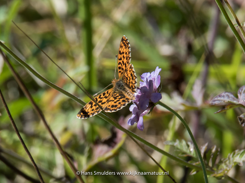 Duinparelmoervlinder (Argynnis niobe)-818_5840