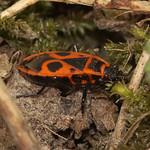 Gemeine Feuerwanze (Pyrrhocoris apterus) auf der Schurenbachhalde