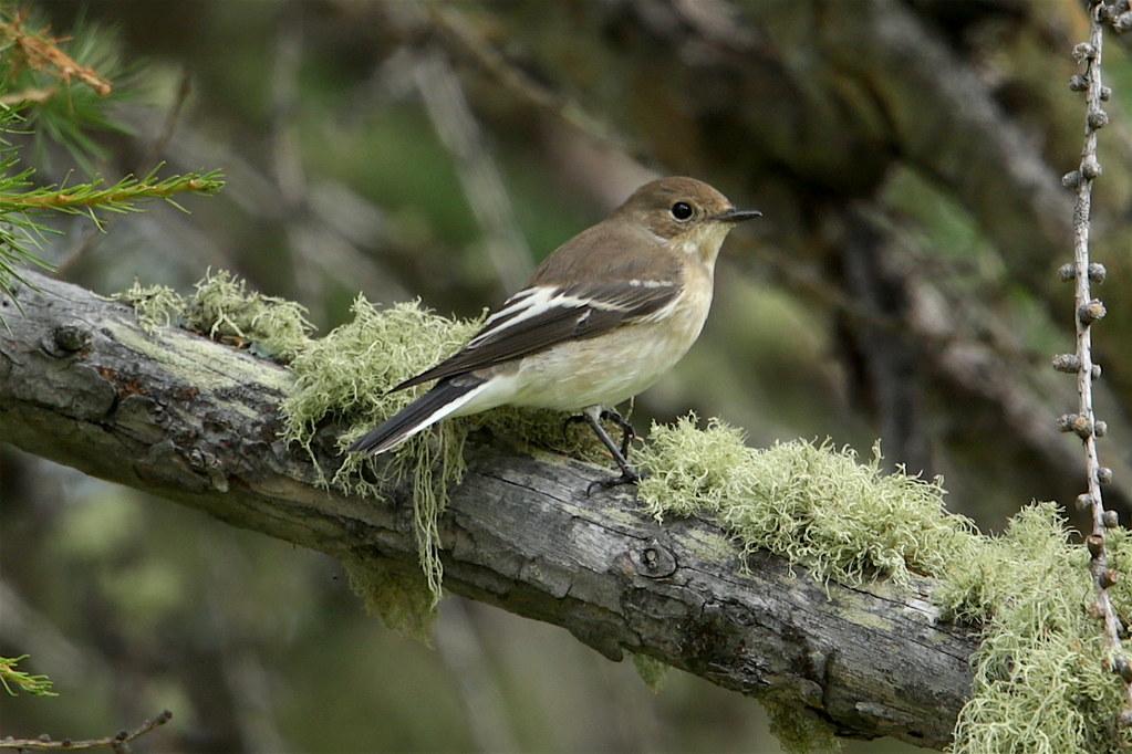 歐洲斑姬鶲(European pied flycatcher)通常對環境變遷有一定適應能力。Aaron Maizlish攝(CC BY-NC 2.0)