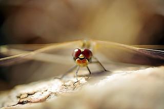 Dragonfly   by noelcmn