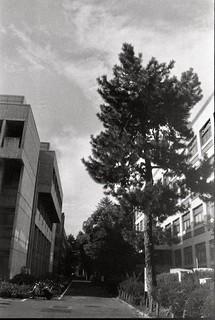 pine, tall pine.
