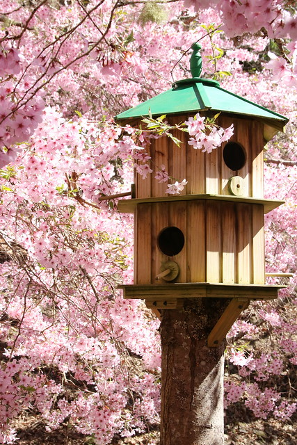 Cherry blossom and the dovecote