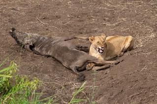 Lion Eats Wildebeest   by Laura Jacobsen