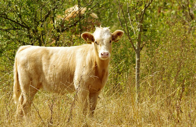 cows and cattle (2)
