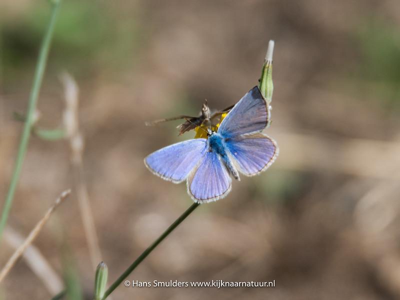 Icarisblauwtje (Polyommatus icaris)-818_5793