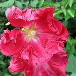 Gewöhnliche Stockrose (Common Hollyhock, Althaea rosea)