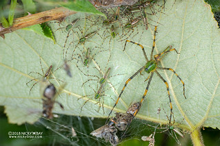 Green lynx spider (Peucetia madagascariensis) - DSC_7884 | by nickybay