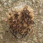 Raupen des Schwammspinners (Lymantria dispar) im Schellenberger Wald