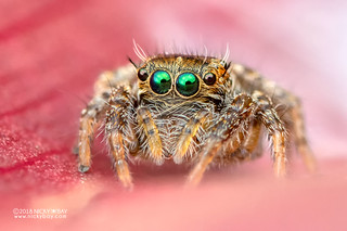 Green-eyed jumping spider (cf. Hyllus sp.) - DSC_9531 | by nickybay