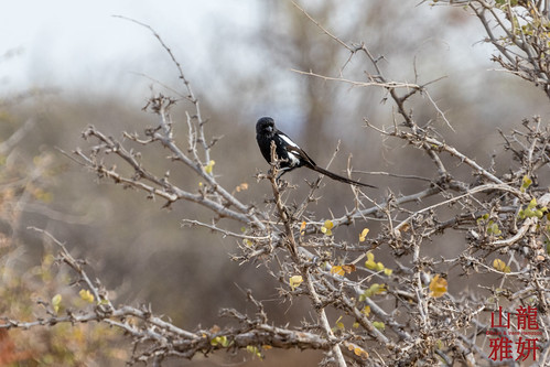 Magpie Shrike | by DragonSpeed