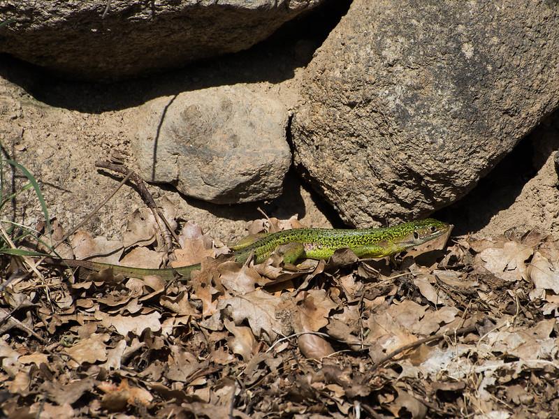 Oostelijke smaragthagedis (Lacerta viridis)=818_5687