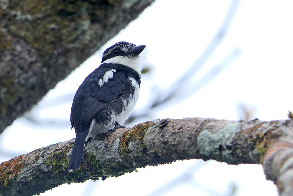 Bobo Coronado, Greater Pied Puffbird, Pied Puffbird (Notharchus tectus)