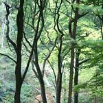 Dichter Baumbestand im Schellenberger Wald