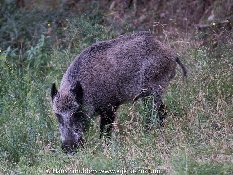 Wild zwijn (Sus scrofa)-818_5910