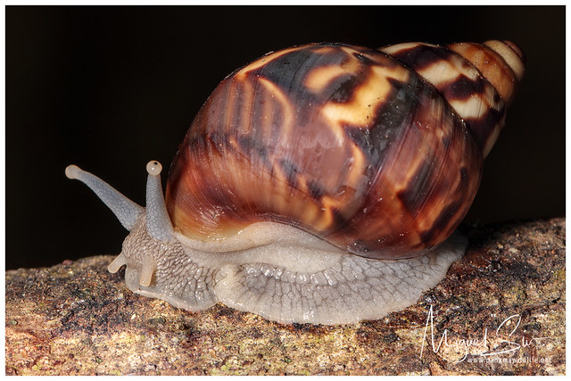 Snail / Caracol