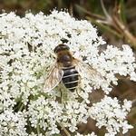 Mittlere Keilfleckschwebfliege (Medium Drone Fly, Eristalis interrupta), Weibchen