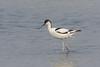 Pied Avocet (Recurvirostra avosetta) Kluut by Ron Winkler nature