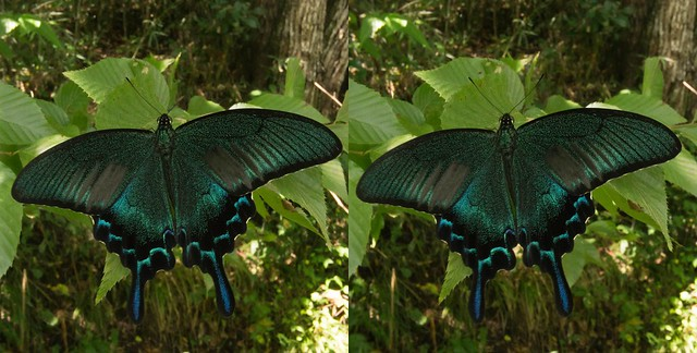 Papilio dehaanii, stereo parallel view