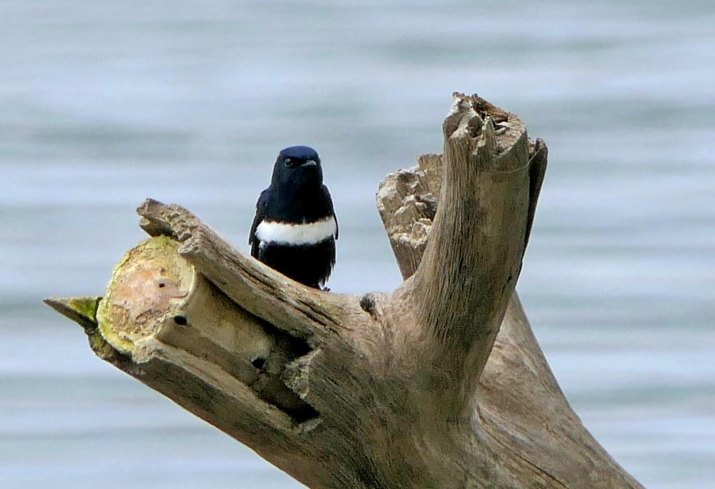 Golondrina Pectoral, White-banded Swallow (Atticora fasciata)