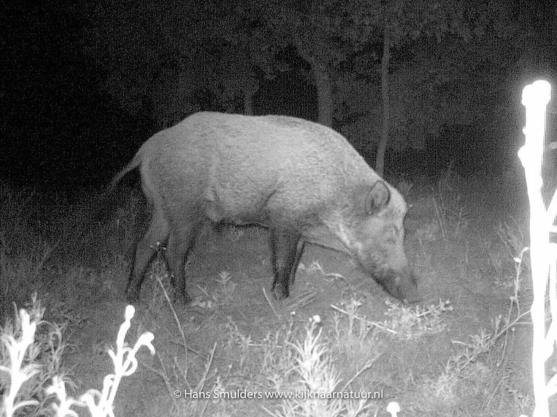 Wild zwijn (Sus scrofa)-IMAG0044