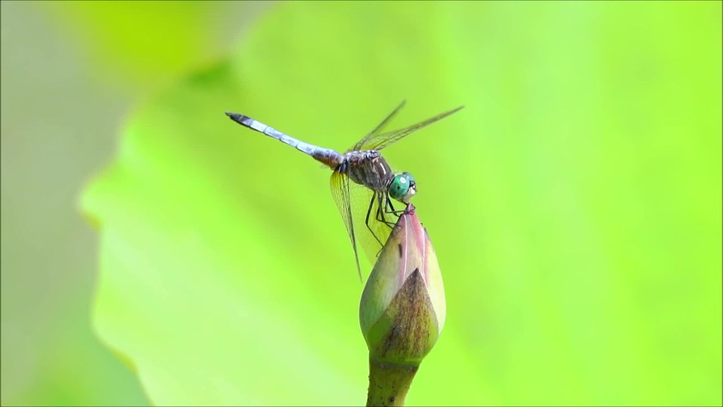 Dragonfly SLow Mo Clip 43 Edit 2