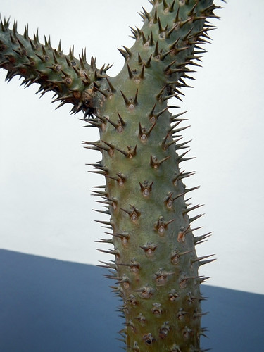 The very spiny stem of a cactus in Puerto Vallarta, Mexico
