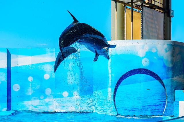At the Dolphins and Sea Lions Show of Enoshima Aquarium, Fujisawa : イルカとアシカのショー(新江ノ島水族館)