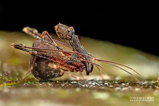 Assassin spider / Pelican spider (Eriauchenius sp.) - DSC_2729   by nickybay