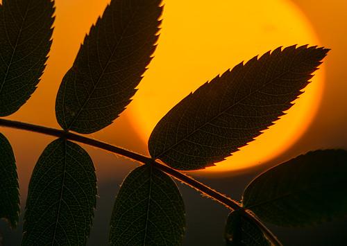 rowan sunset silhouette macro