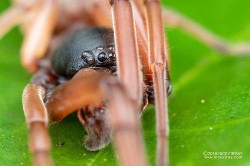 Sac spider (Paccius sp.) - DSC_1944 | by nickybay