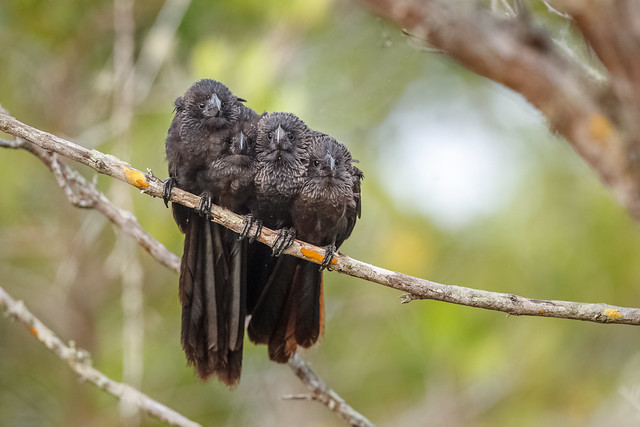 Four Smooth-billed Anis
