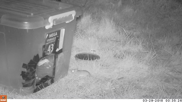 mouse in hedgehog house & feeding station