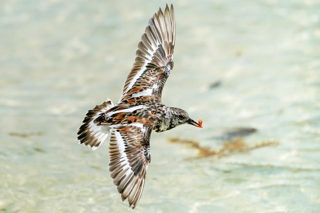 Ruddy Turnstone - Flight