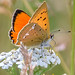 France Butterflies Skippers and Coppers