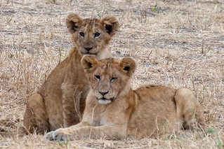 Lion cubs. Tarangire | by Laura Jacobsen