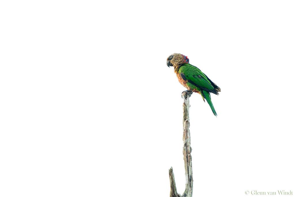 High Key Parrot...