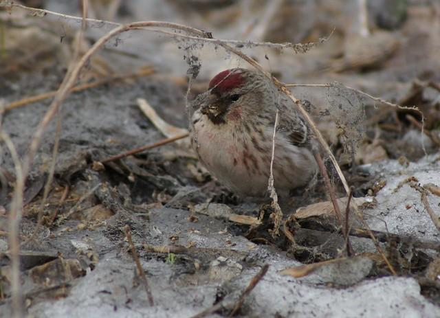 Common Redpoll, Acanthis flammea, Чечётка обыкновенная