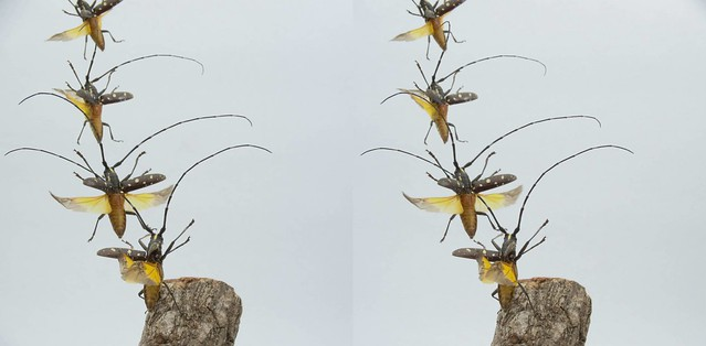 Psacothea hilaris taking off, stereo cross view