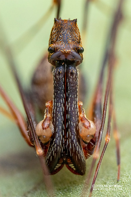 Assassin spider / Pelican spider (Eriauchenius sp.) - ESC_0128