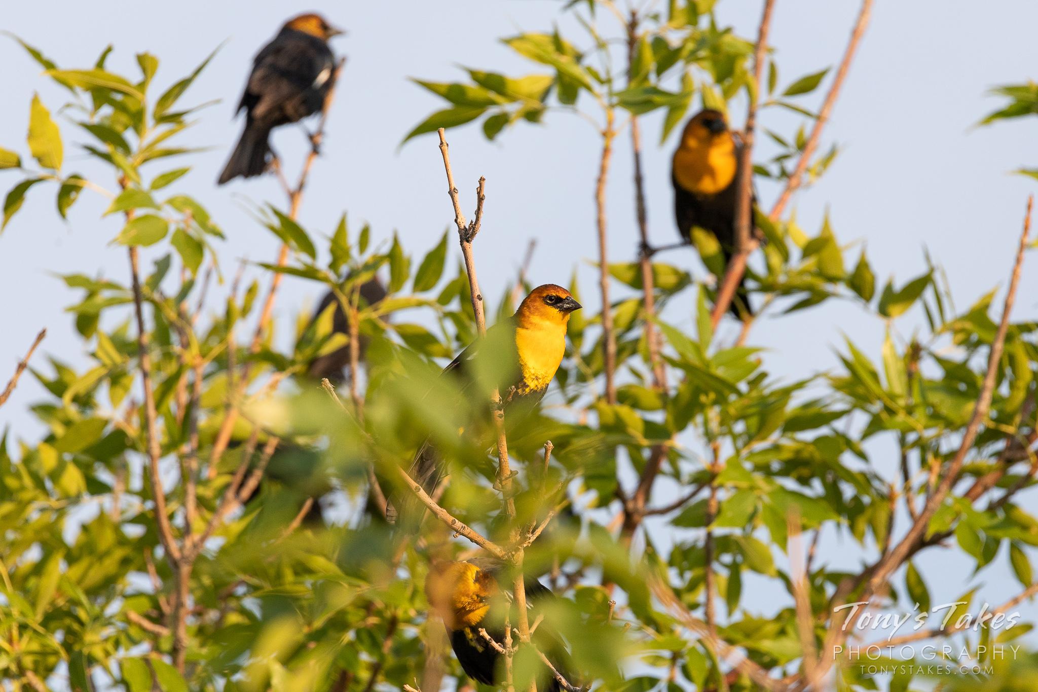 Yellow-headed Blackbirds in Longmont, Colorado. (© Tony's Takes)