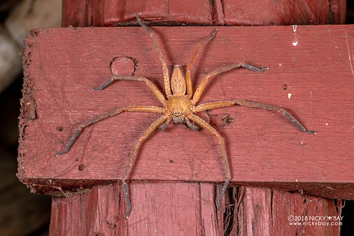Huntsman spider (Olios sp.) - DSC_2073 | by nickybay