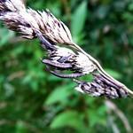 Mutterkornpilz (Ergot Fungus, Claviceps purpurea) an Gewöhnlichem Knäuelgras (Orchad Grass, Dactylis glomerata)