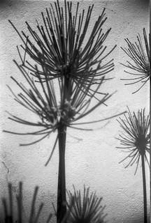 Plantes plumeau