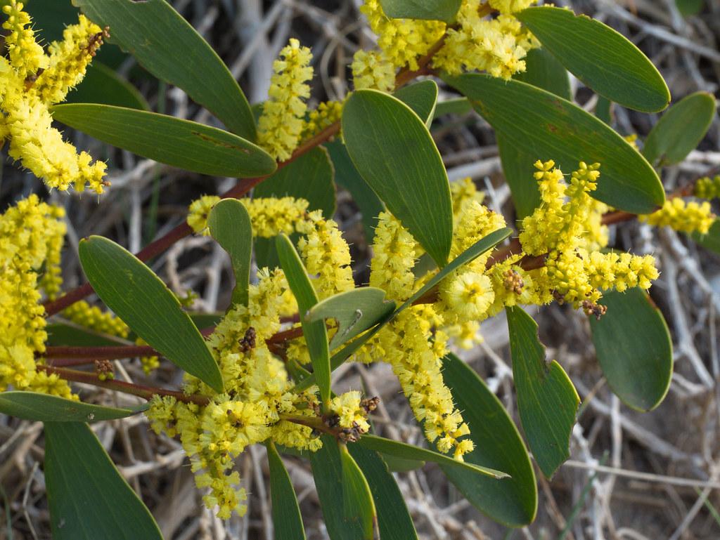 Coast Wattle 2 Acacia Longifolia Subsp Sophorae Coast W Flickr