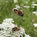 Mittlere Keilfleckschwebfliege (Medium Drone Fly, Eristalis interrupta), , unten ein Weibchen und oben ein Männchen